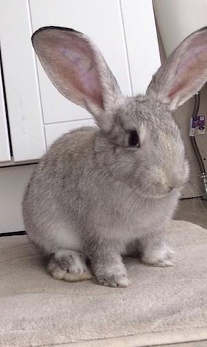 Flash the Flemish Rabbit