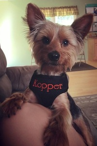 Kopper in Personalized harness - Medium