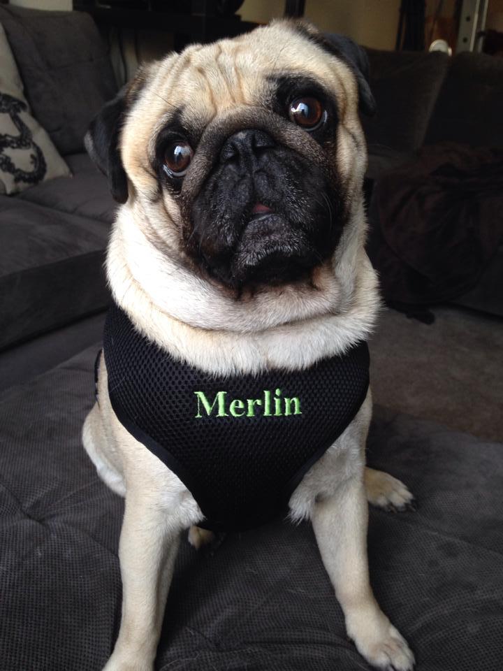 Merlin Pug Custom Emb harness