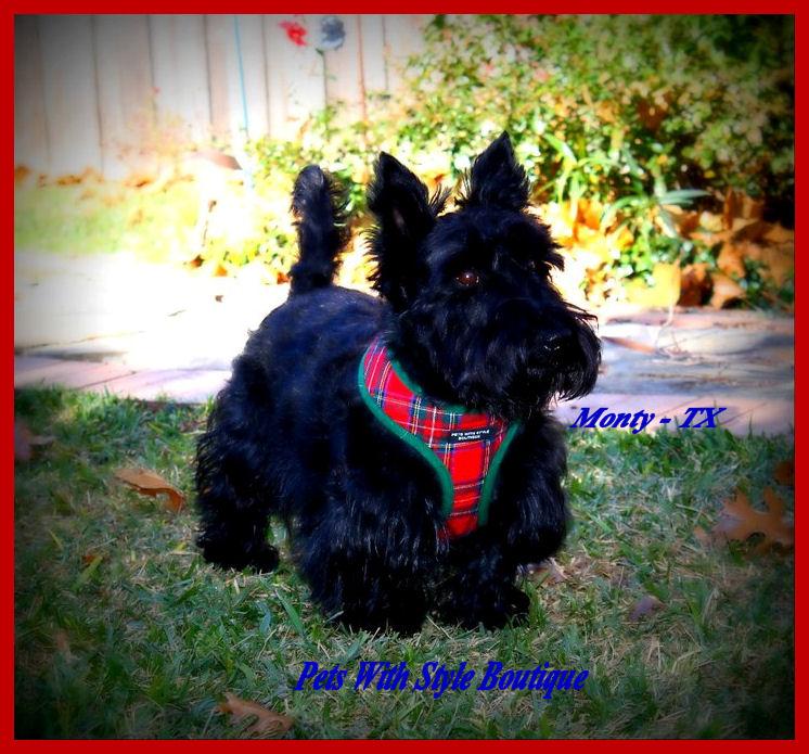 Monty in plaid harness