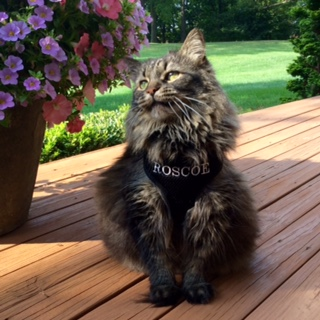 Roscoe CAT Personalized Harness